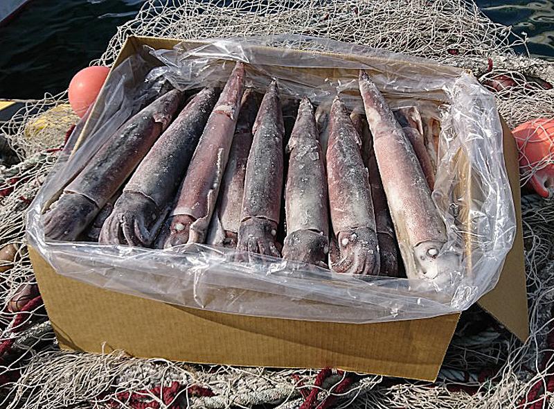 船凍イカ(元箱31~35ハイ入 8kg)